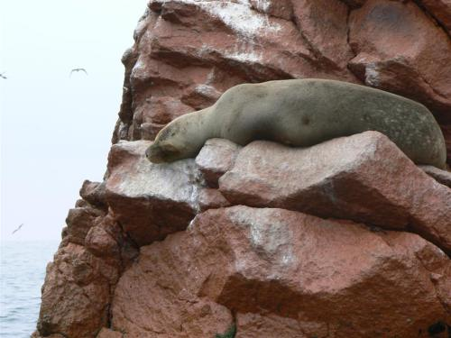 Fotos del lobo marino sudamericano en Islas Ballestas – Perú. Foto por martin_javier