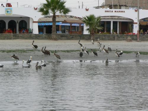 Fotos del pelícano peruano en Islas Ballestas – Perú. Fotos por martin_javier