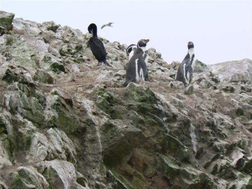 Fotos del pingüino de Humboldt en Islas Ballestas - Perú. Foto por martin_javier