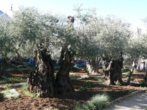Fotos del Huerto de Getsemaní - Monte de los Olivos - Jerusalem - Israel. Foto por martin_javier.