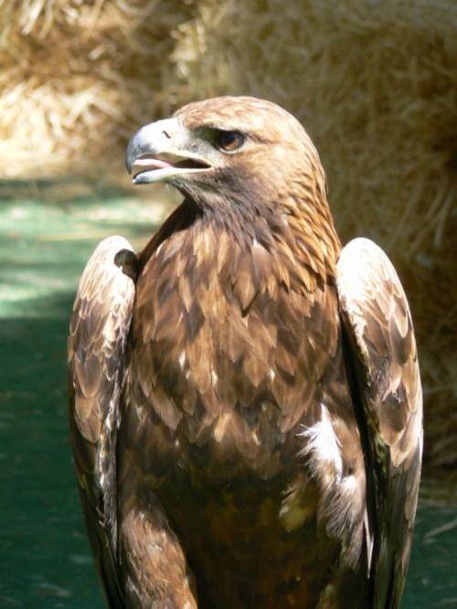 Fotos del Águila real - Aquila chrysaetos. Foto por martin_javier